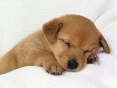 15509 4522 Filhotes de Labrador a Venda
