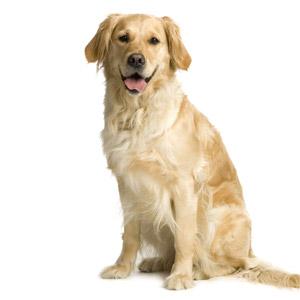 16 5 orig Filhotes de Labrador a Venda