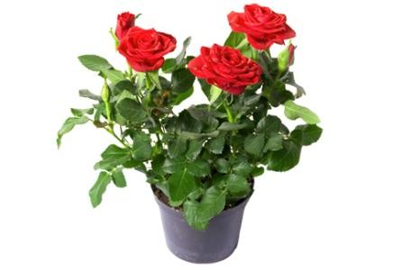 Como Cultivar Rosas em Vasos 1 Como Cultivar Rosas em Vasos