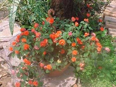 Como Cultivar Rosas em Vasos 3 Como Cultivar Rosas em Vasos