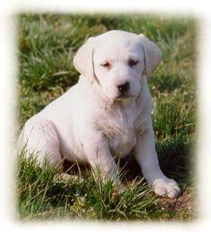 filhote do labrador Filhotes de Labrador a Venda