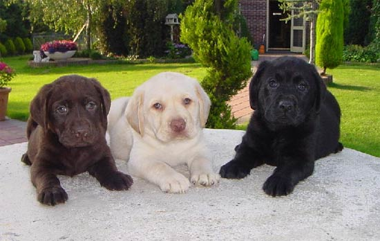 labrador Filhotes de Labrador a Venda